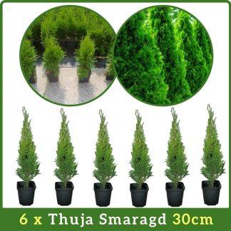 6 x Thuja Smaragd 30cm