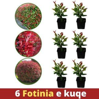 6 copë Fotinia e kuqe