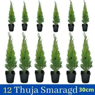 12 copë Thuja Smaragd 30cm