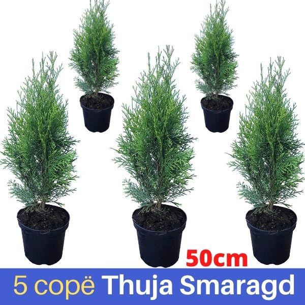 5 cope Thuja Smaragd 50cm