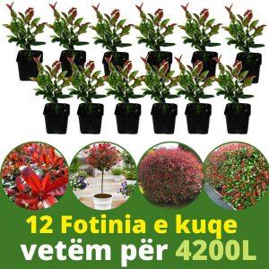 12 copë Fotinia e kuqe 20cm